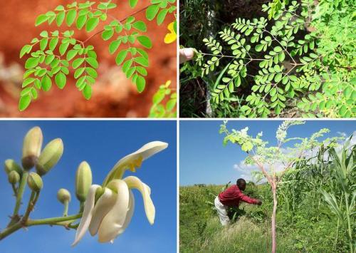 Moringa y sus propiedades nutritivas